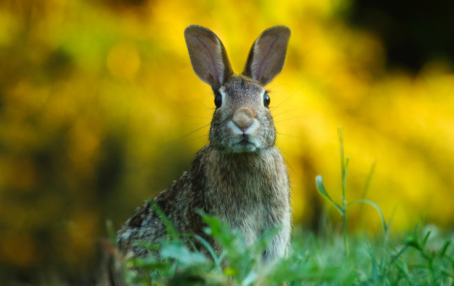 March hare in tall grass